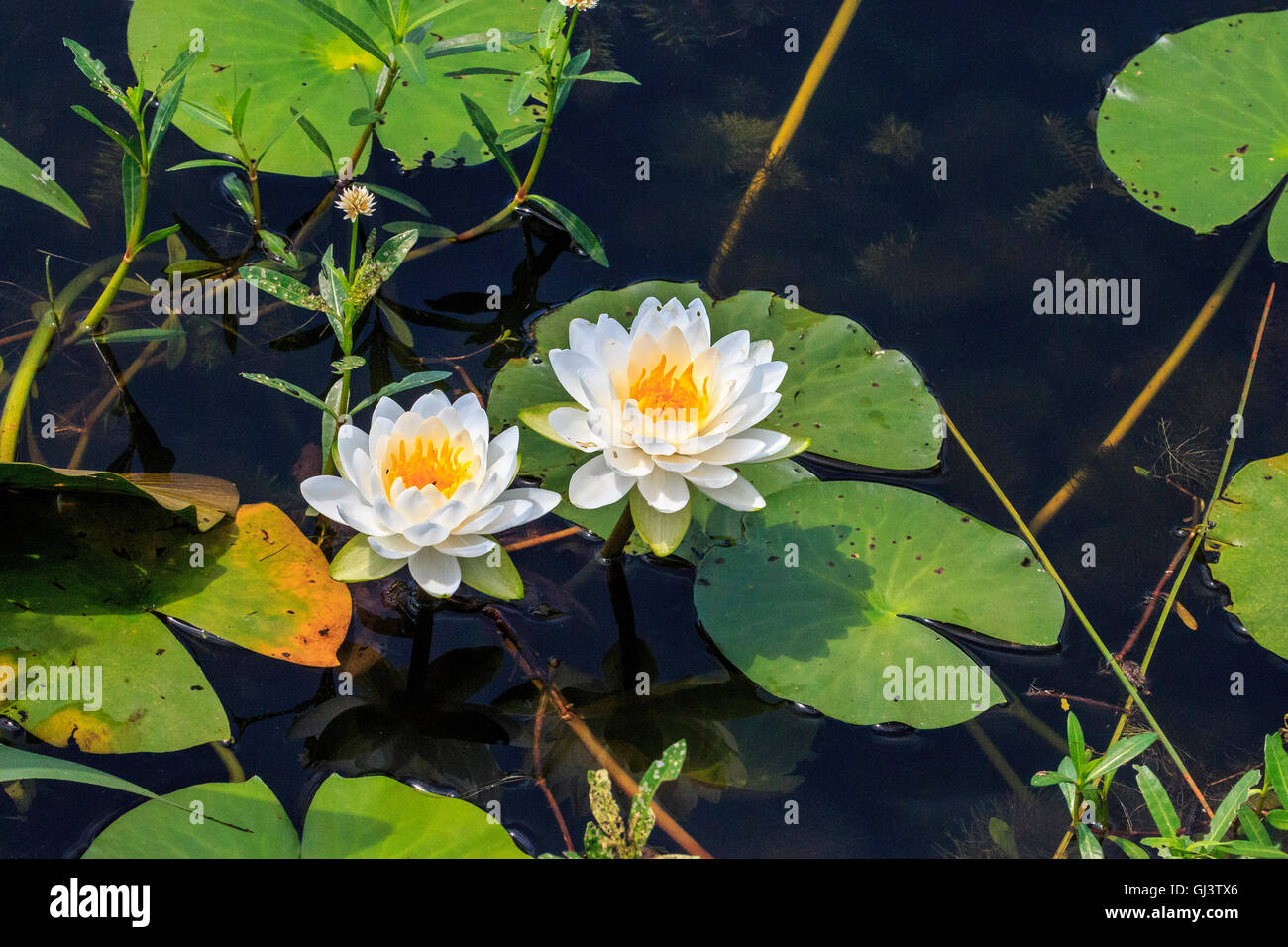 American Lotus Flower Stock Photos American Lotus Flower Stock