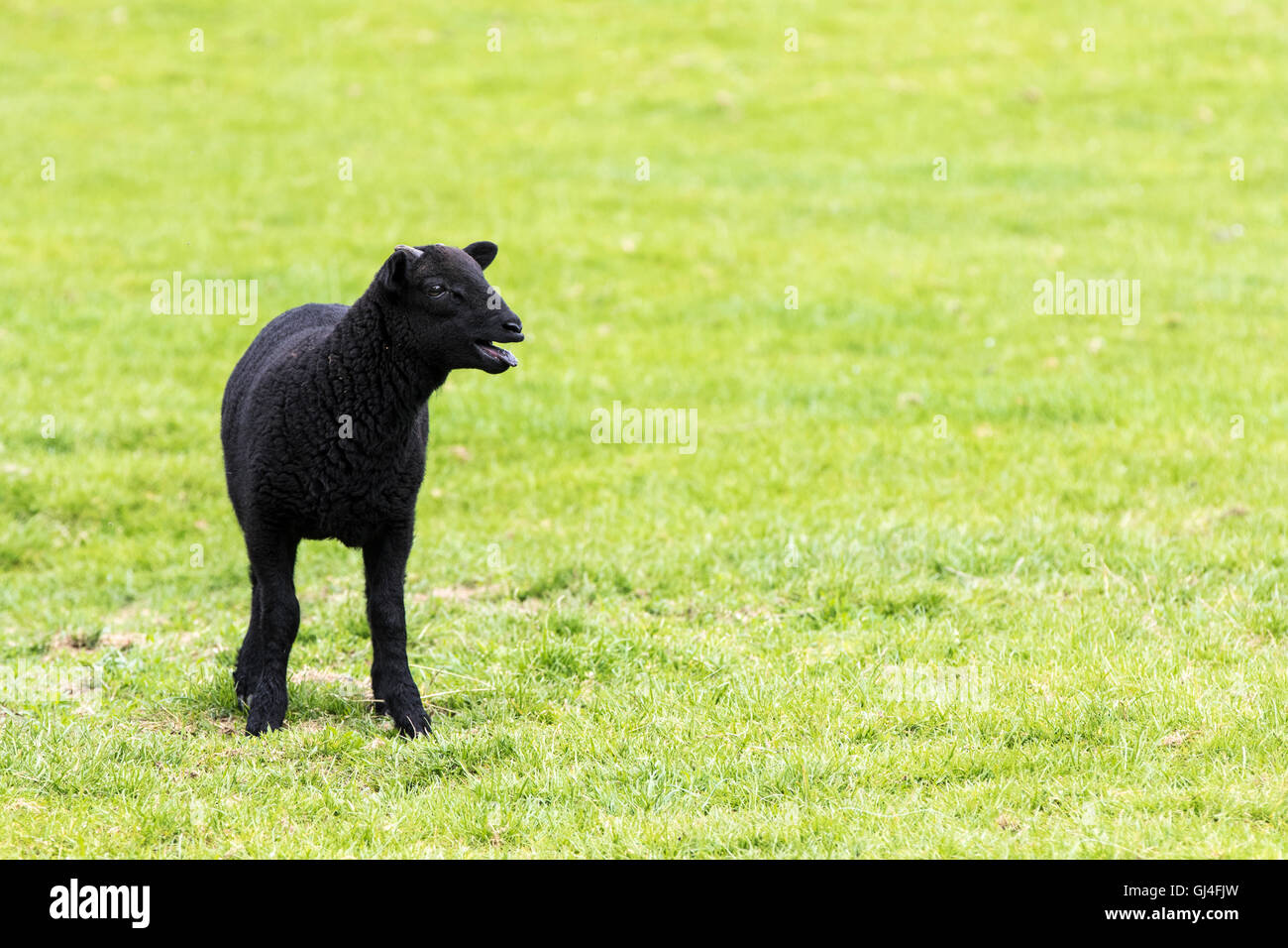Young horned black lamb bleating, calling to its mother and staring to the right - Stock Image
