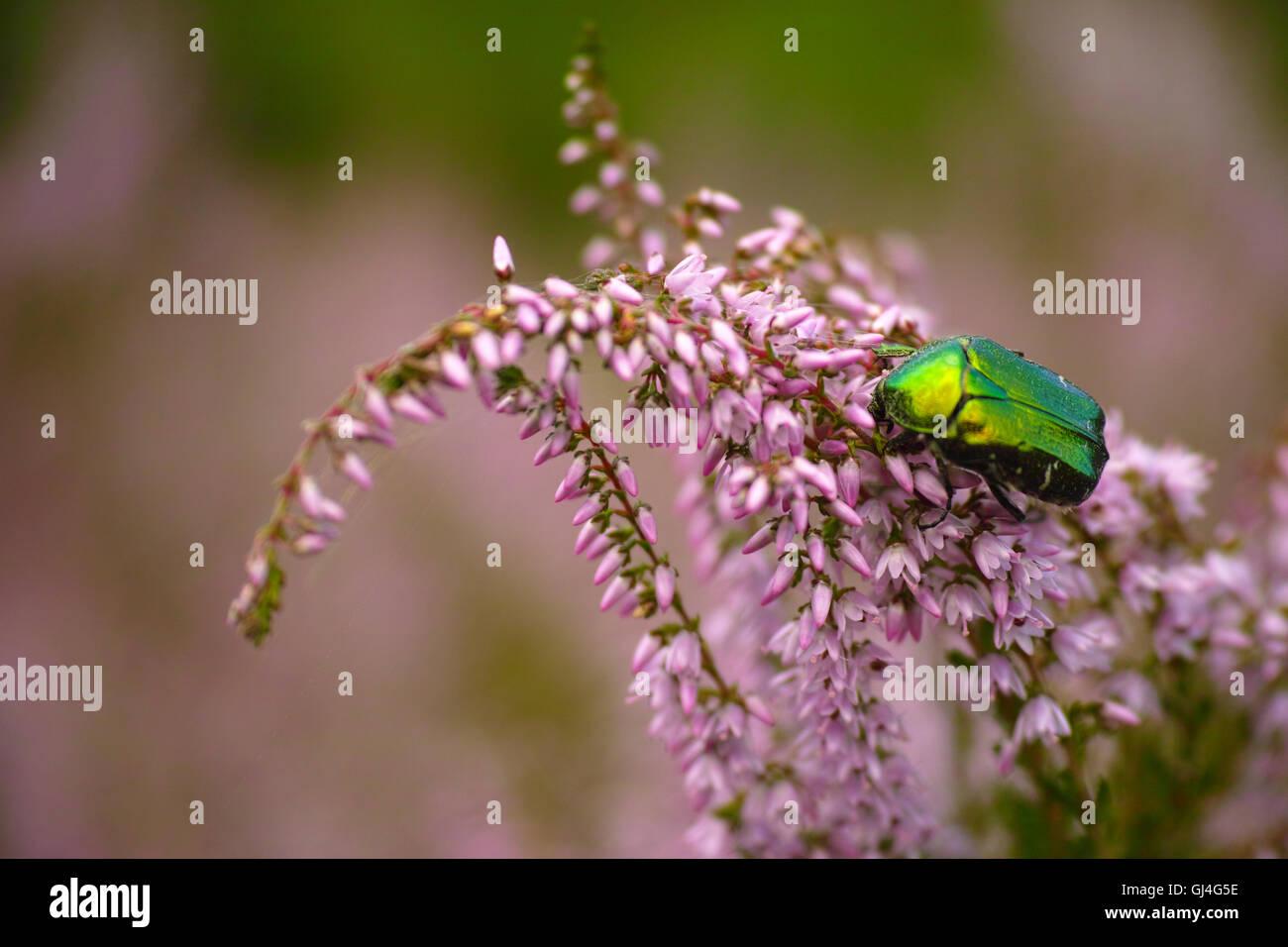 rose beetle in erika - Stock Image