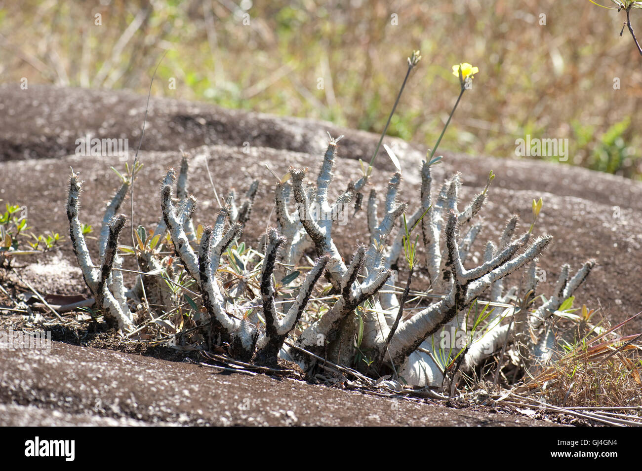 Elephant's foot plant Pachypodium gracilis Madagascar - Stock Image