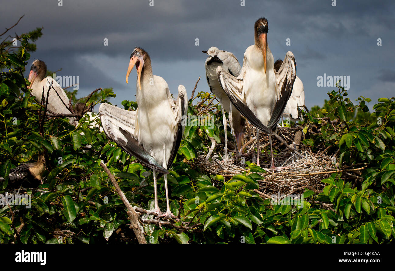 Woodstork Fledglings appear chatty at their pond apple tree nest still awaiting a meal flight from Mom or Dad. - Stock Image