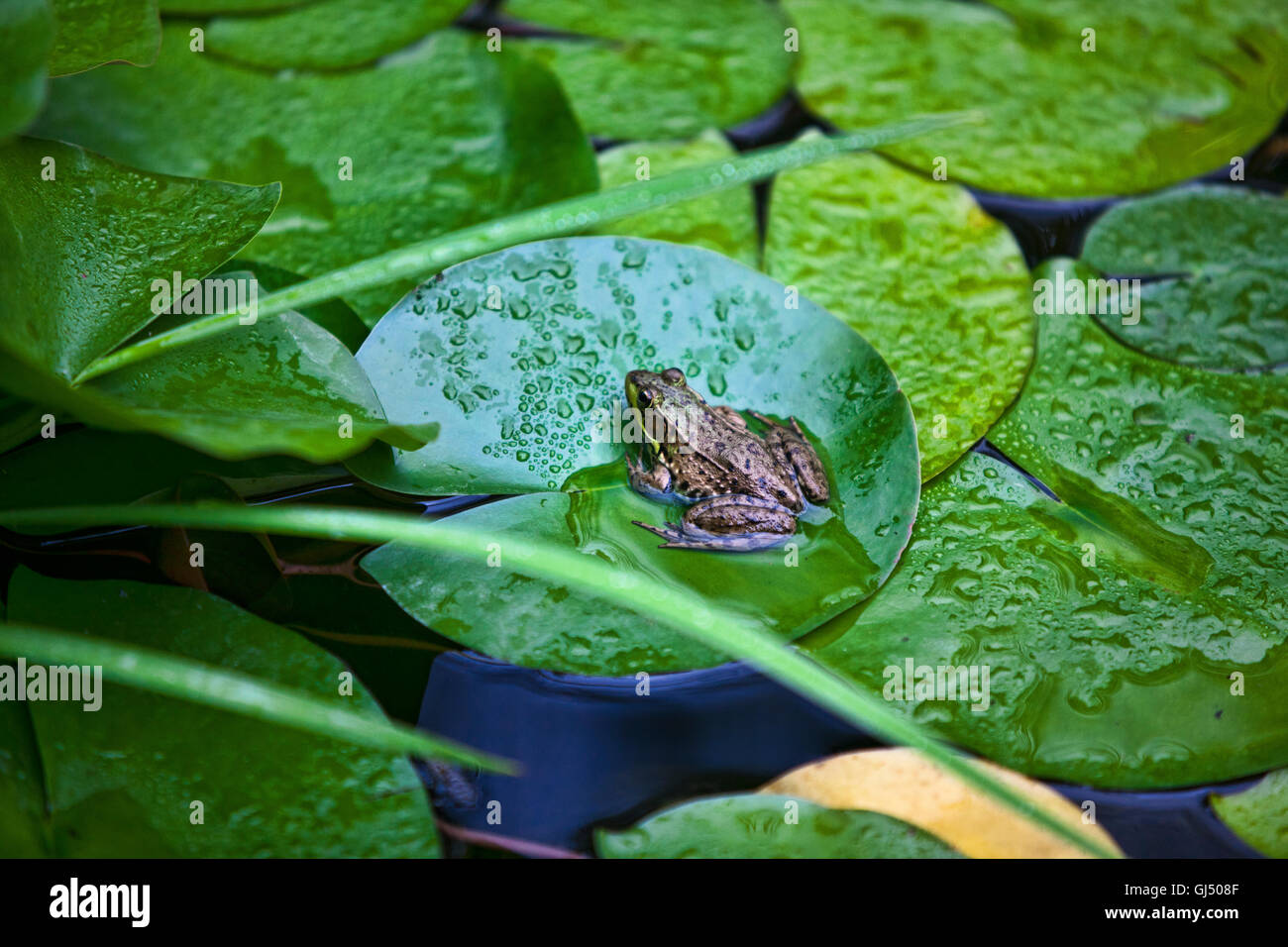 Frog sitting on top of a Lilly Pad in a pond - Stock Image