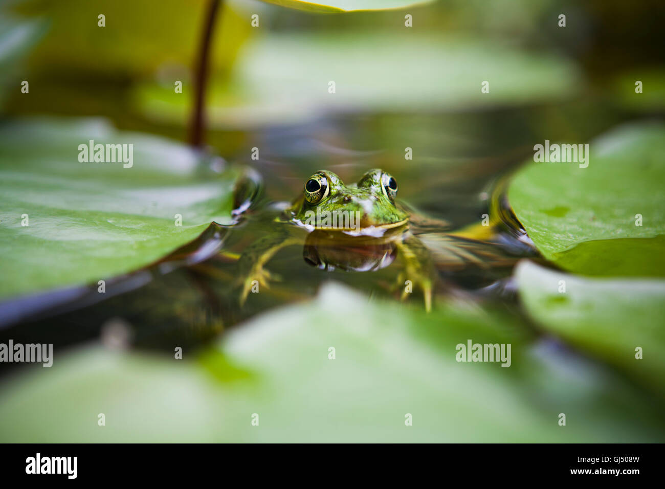 Close-up of a frog floating beside some lily pads - Stock Image