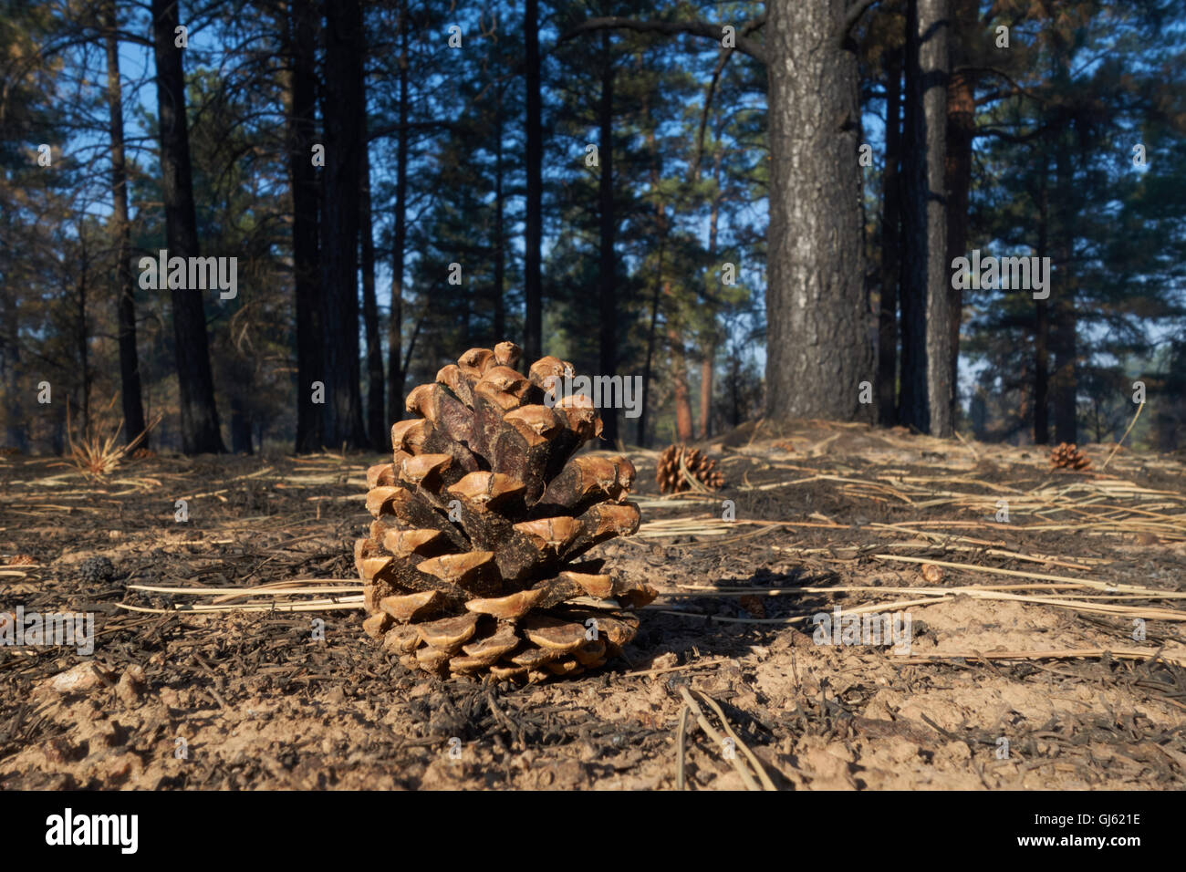 Pine cone on forest floor which has been cleared by fire. Arizona. USA - Stock Image