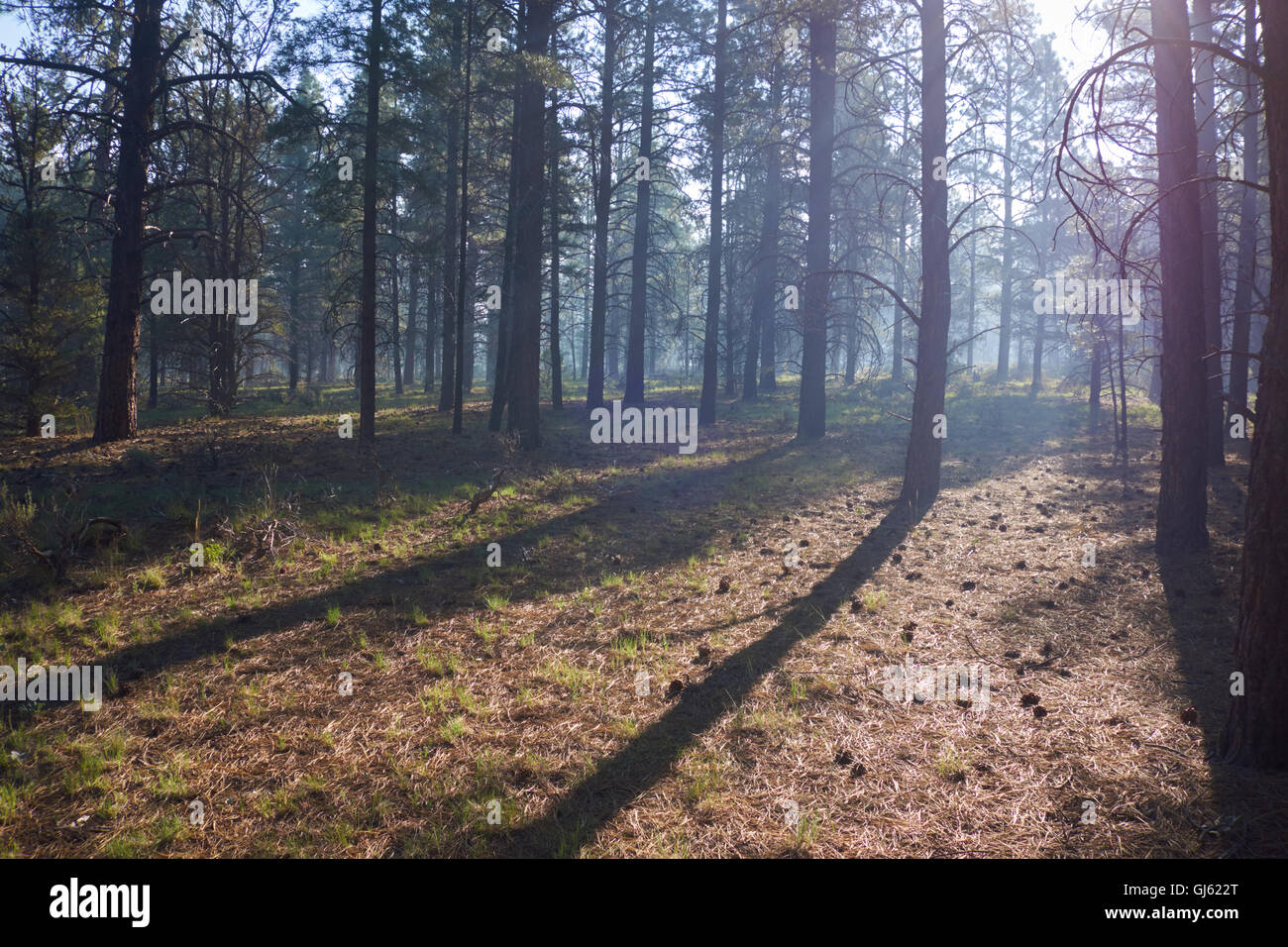 Trees with bark burnt by forest fire. Arizona. USA - Stock Image
