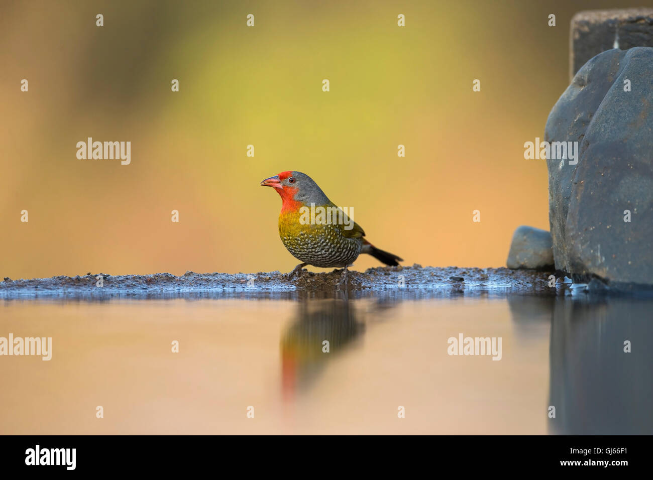 Green-winged Pytilia Pytilia melba male perched on the edge of a pond and reflected in the still water Stock Photo