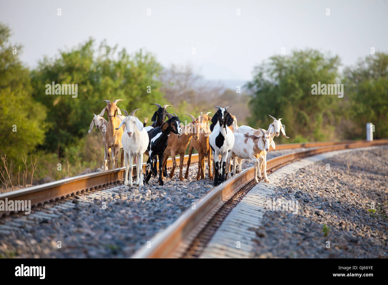 Goats wait on the Chepe train tracks near the station in El Fuerte, Sinaloa, Mexico. - Stock Image