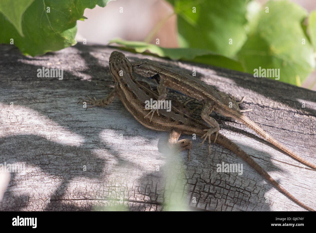 Courting Southwestern Fence lizards, (Sceloporus cowlesi), Rio Grande Nature Center State Park, Albuquerque, New - Stock Image