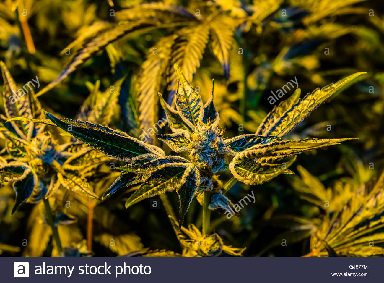 Girl Scout Cookies (GSC) a hybrid of OK Kush and Durban Poison (indica), Marijuana flowering Grow room, Sticky Buds, - Stock Image