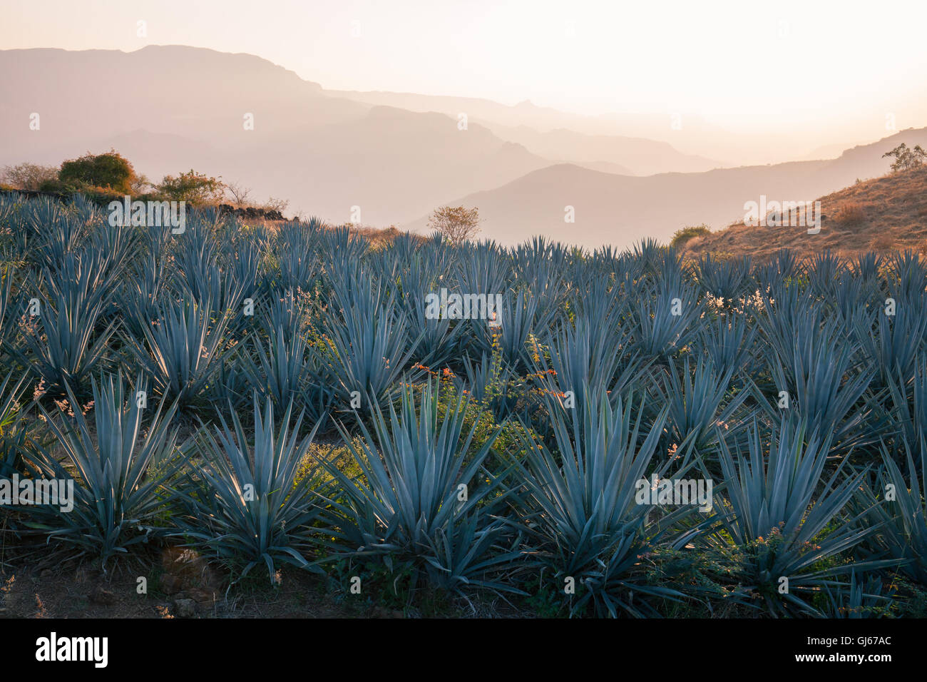 Blue agave fields near Tequila, Jalisco, Mexico. - Stock Image