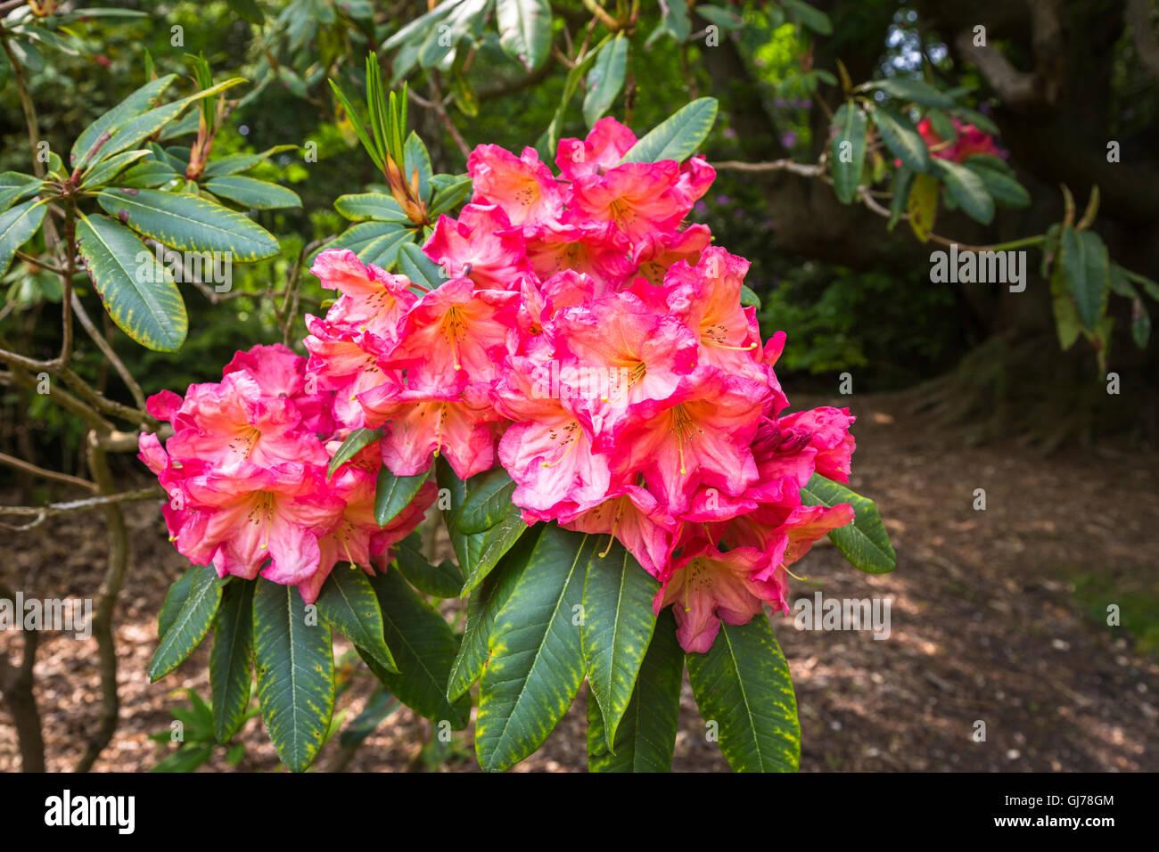Wunderbar Osto Holz Sammlung Von Pink To Red Rhododendron