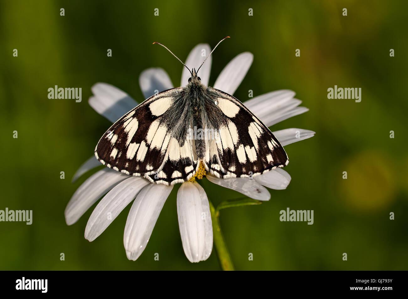 Marbled white basking - Stock Image