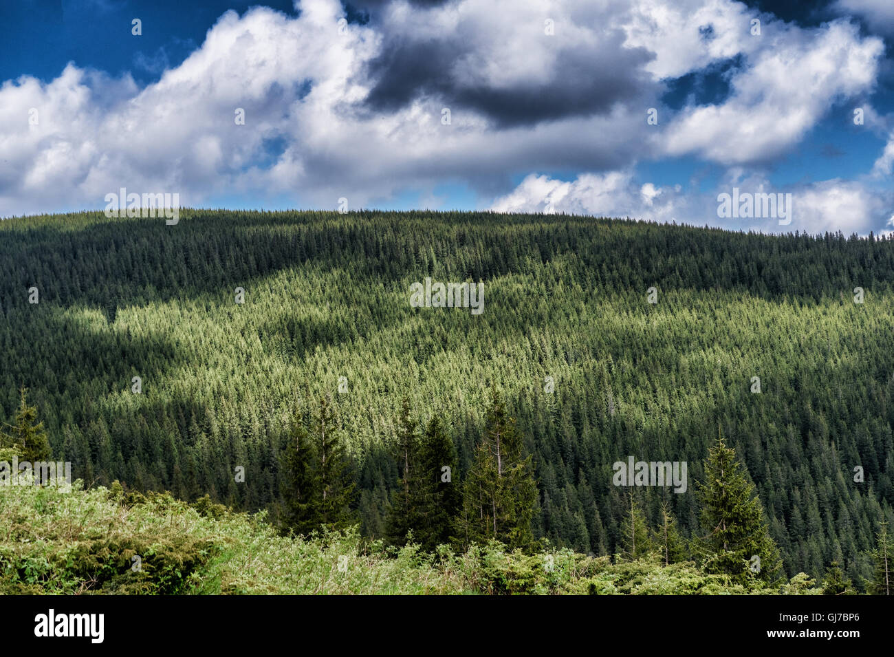 Mountain species on the route to Mount Hoverla Stock Photo