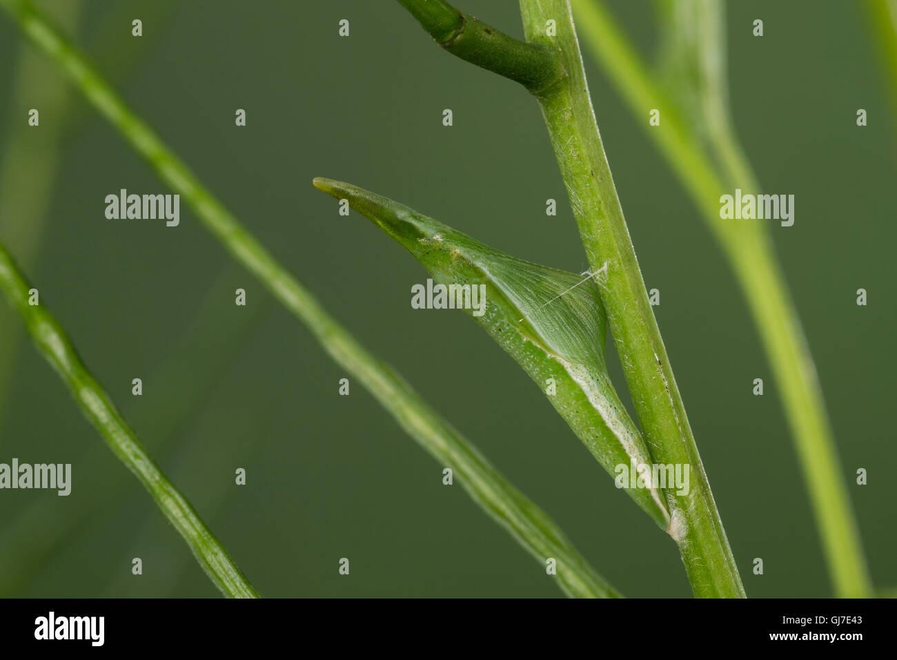 Aurorafalter, Puppe, Aurora-Falter, Anthocharis cardamines, orange-tip, pupa, pupae, L'Aurore. Tarnung, Mimese, Stock Photo