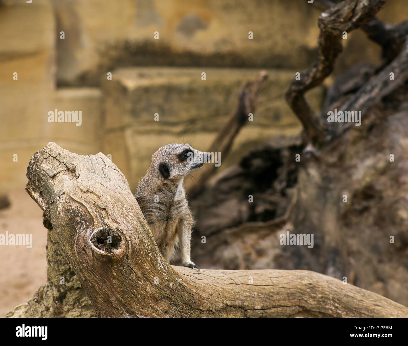 Meerkat Suricata suricatta standing and watching in Zoo background with rocks - Stock Image