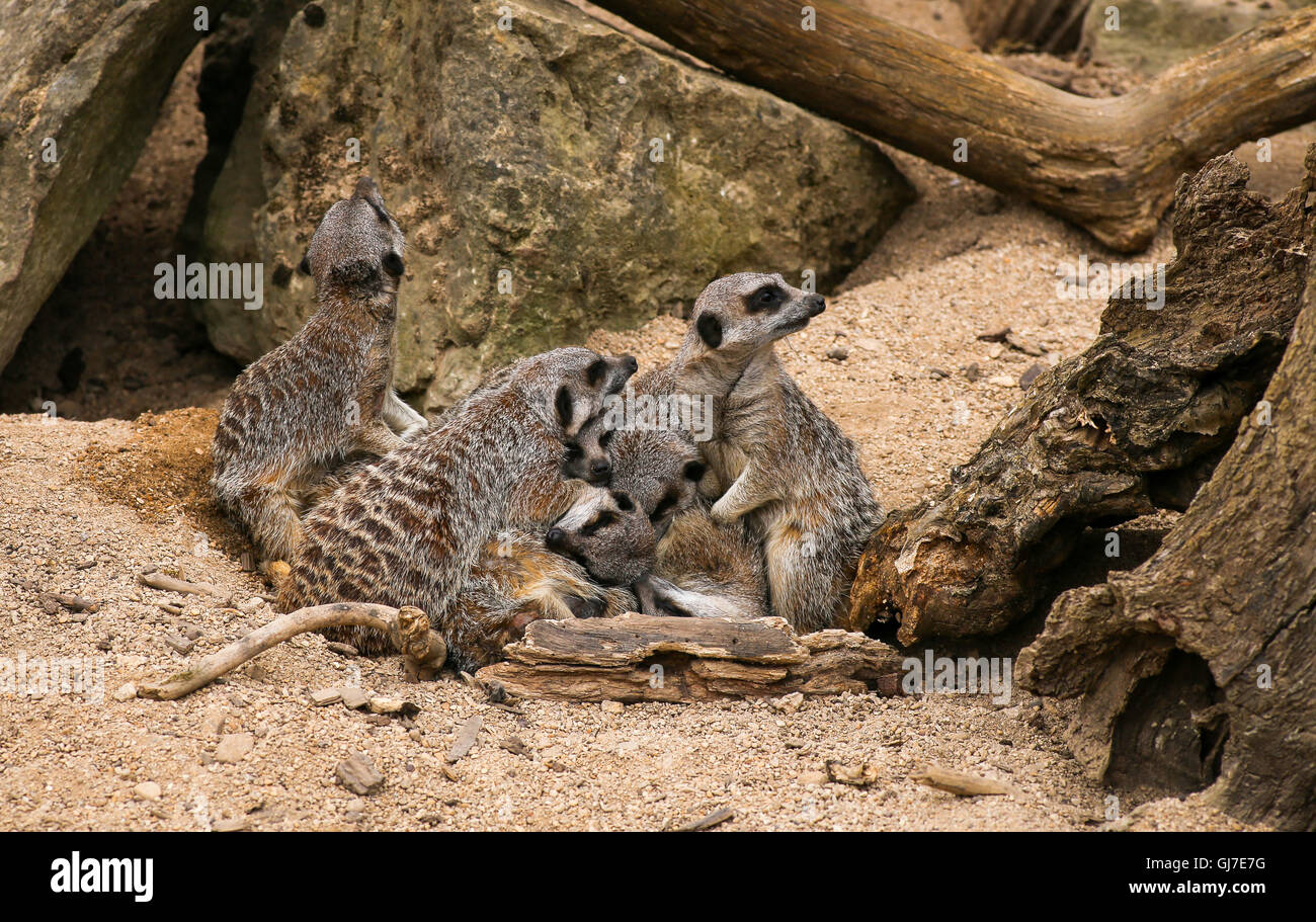 Meerkat Suricata suricatta family in Zoo background with rocks - Stock Image