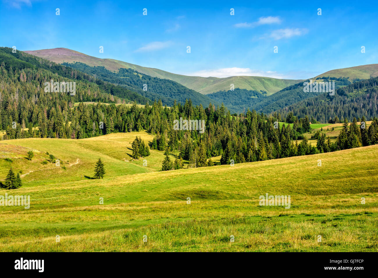 summer landscape with meadow near the spruce forest on hills in mountain area - Stock Image