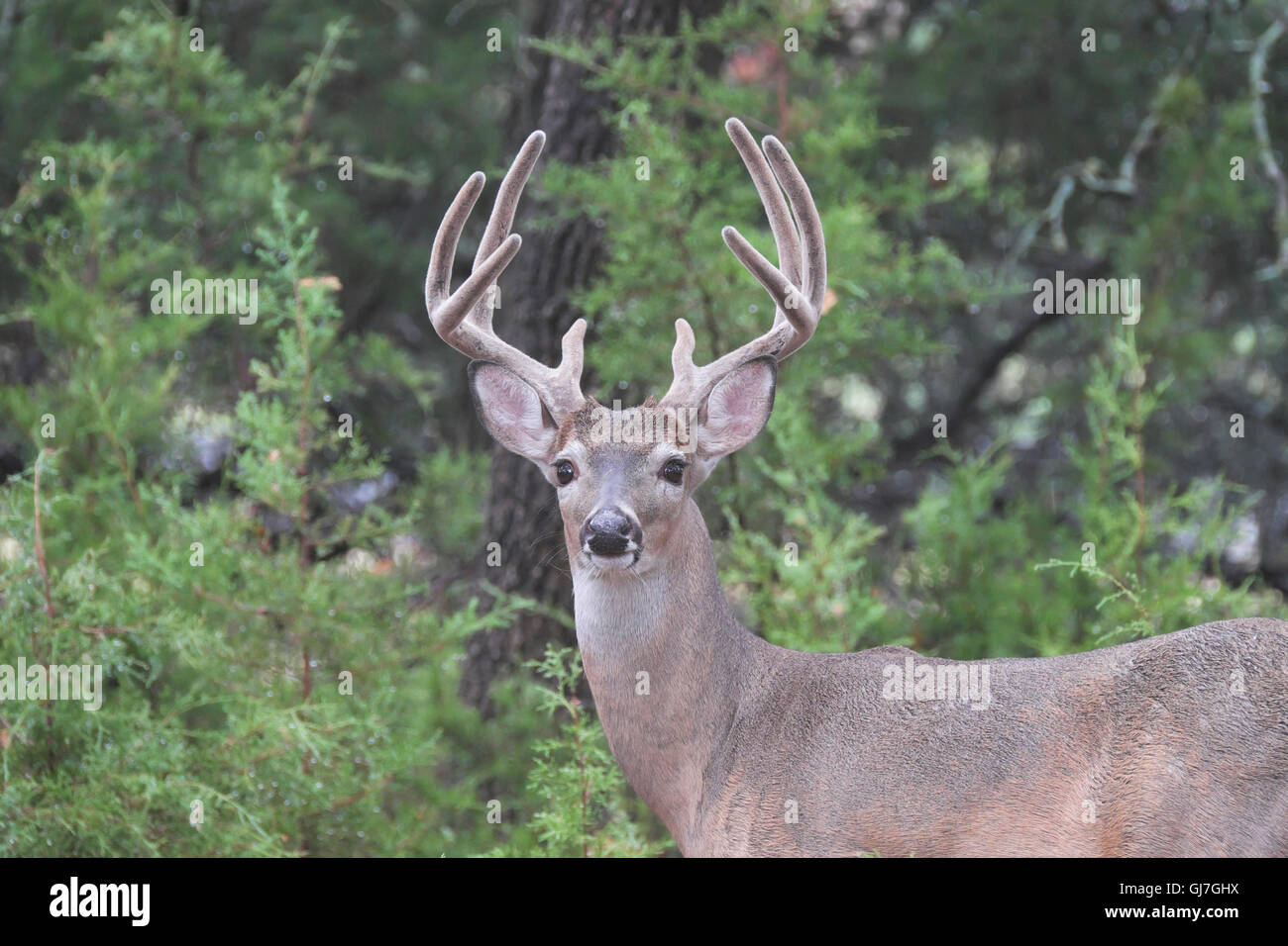 Texas Whitetail 8 Point Buck Deer With Antlers Covered In Velvet