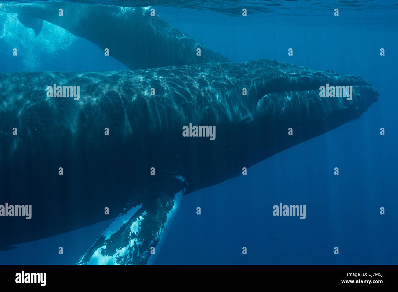 A Humpback whale (Megaptera novaeangliae) slowly surfaces to breathe in the blue waters of Caribbean Sea. - Stock Image