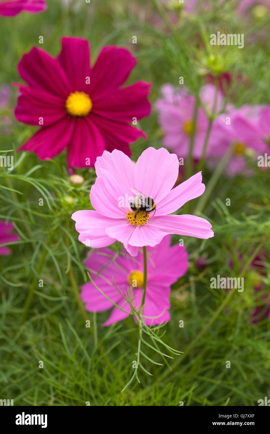 Bumblebee on Cosmos bipinnatus Gazebo Formula Mixed flowers. - Stock Image