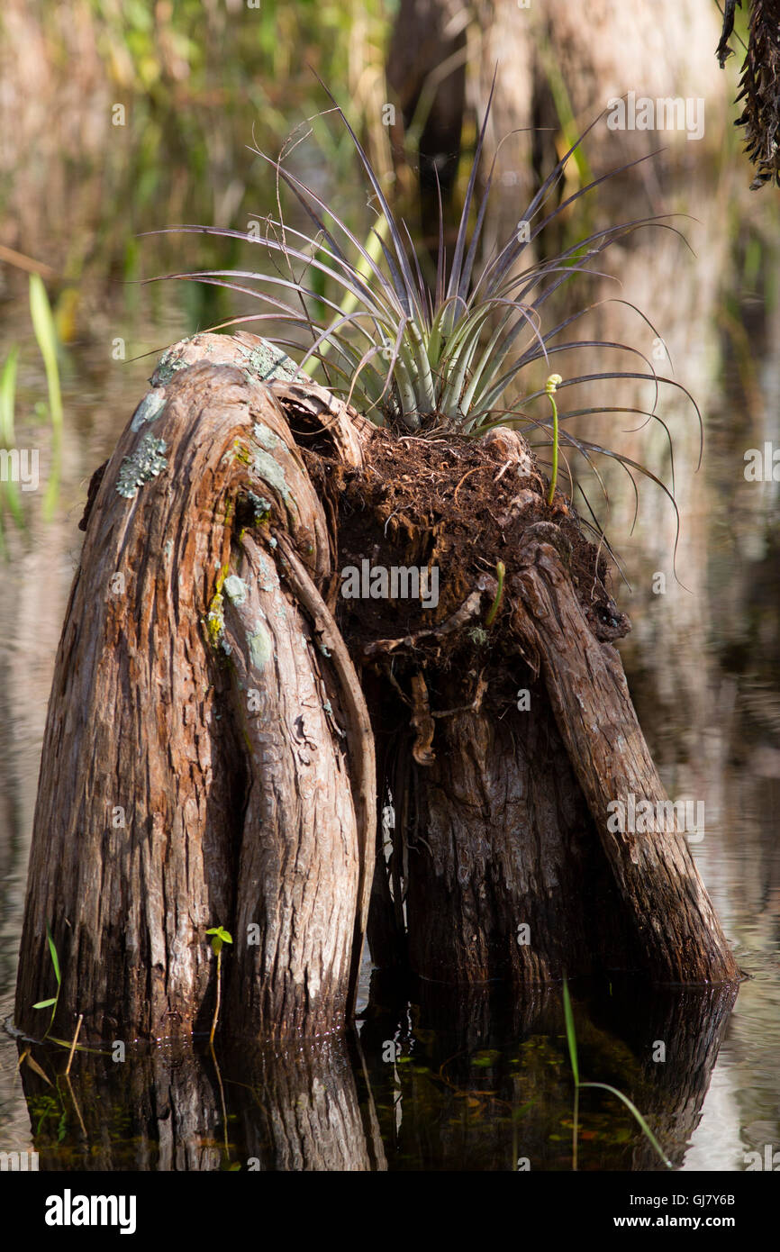 Besides the stately cypress trees themselves, Big Cypress Swamp is populated with an evocative array of cypress - Stock Image