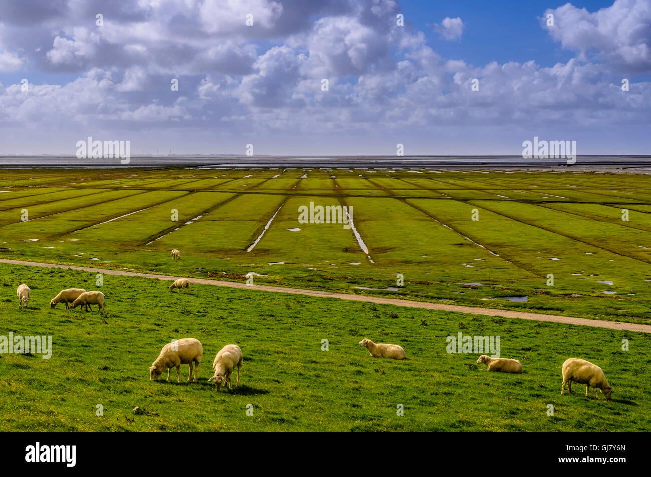 Germany, Schleswig-Holstein, North Frisia, peninsula north beach, mudflat in the Beltringharder Koog, 'Lahnungsfelder' - Stock Image