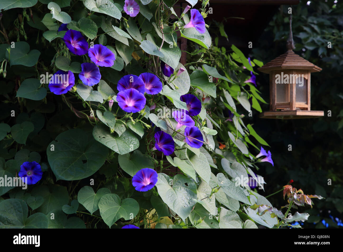morning glory family (magenta) on the summer house - Stock Image