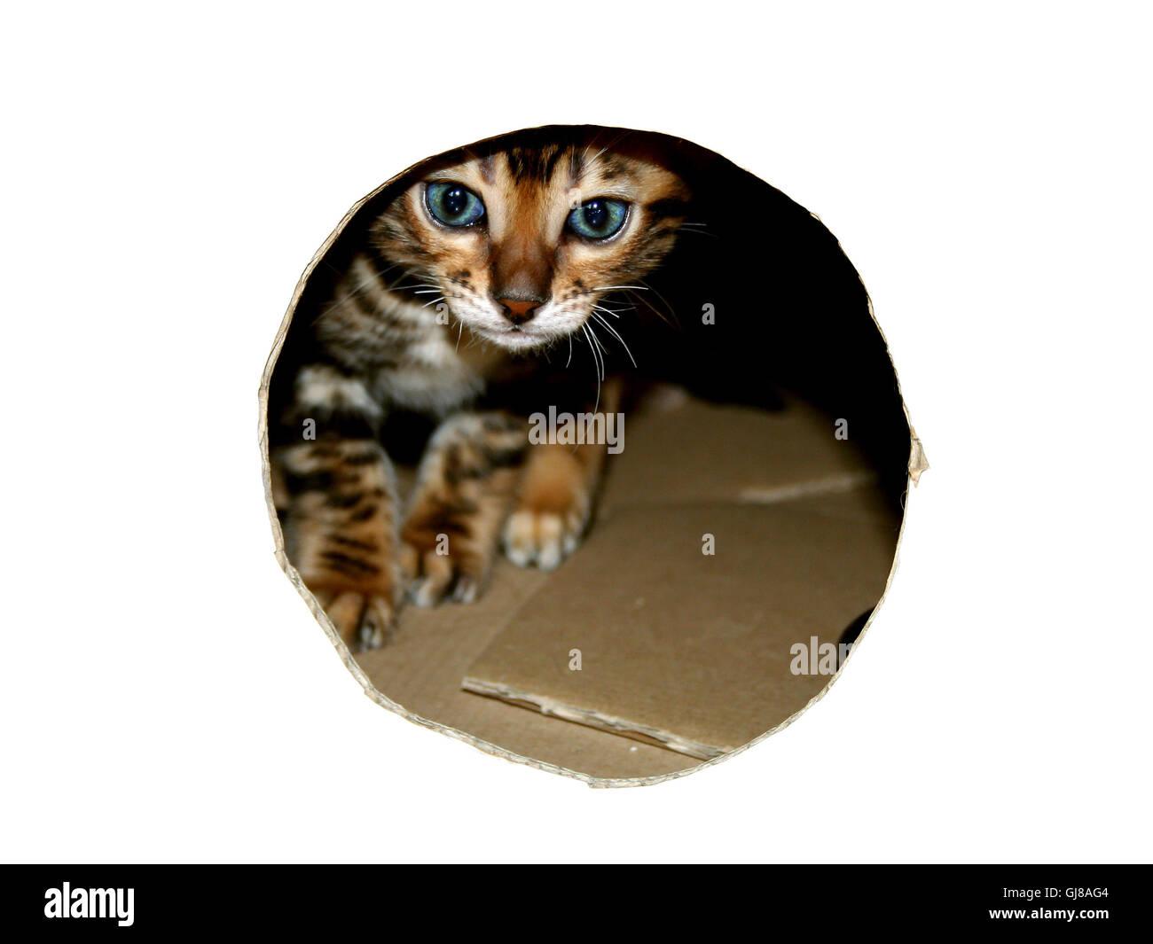 Bengal cat kitten head peeking through look hole of cardboard box in white Stock Photo