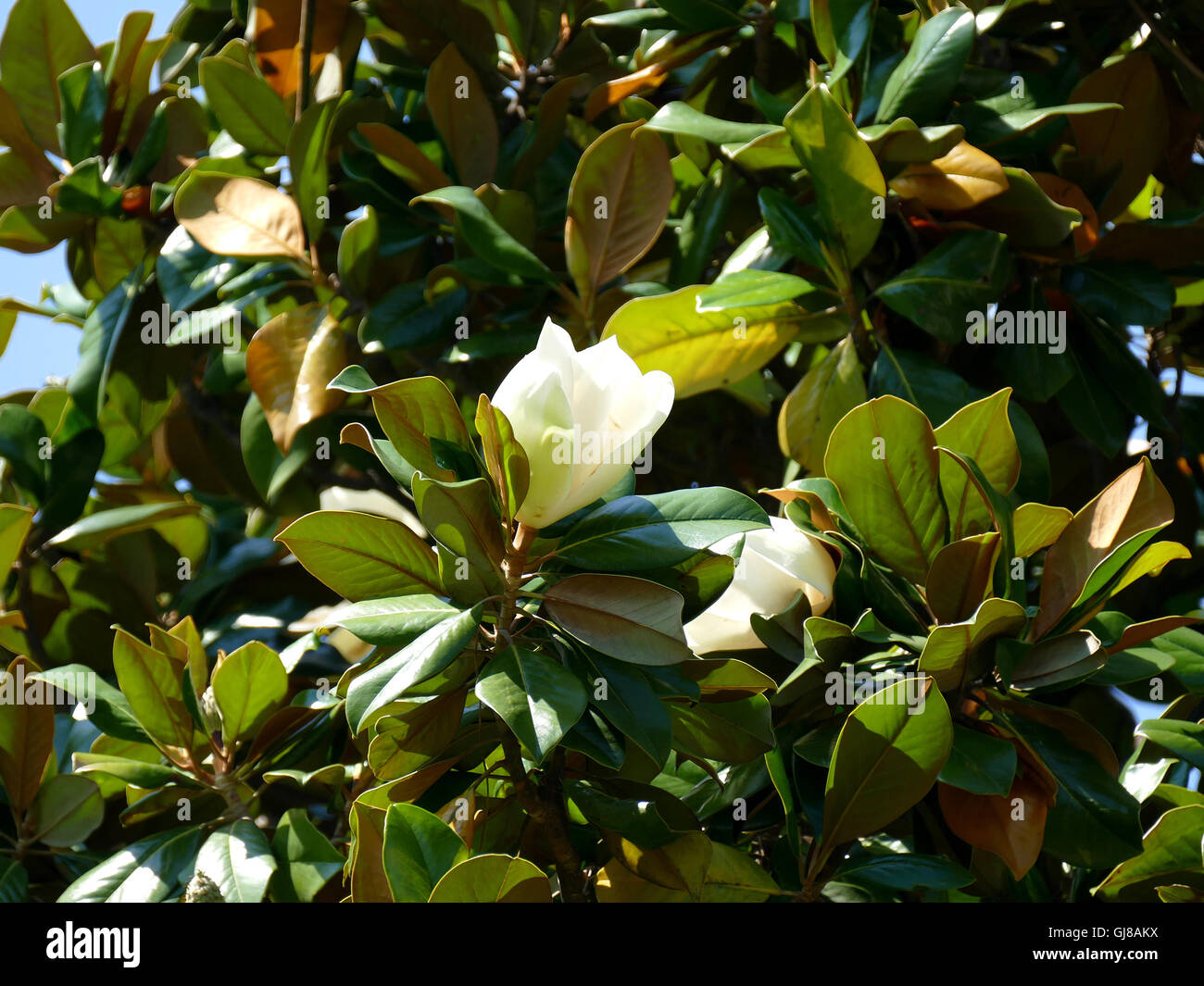 Southern Magnolia Tree Stock Photos Southern Magnolia Tree Stock
