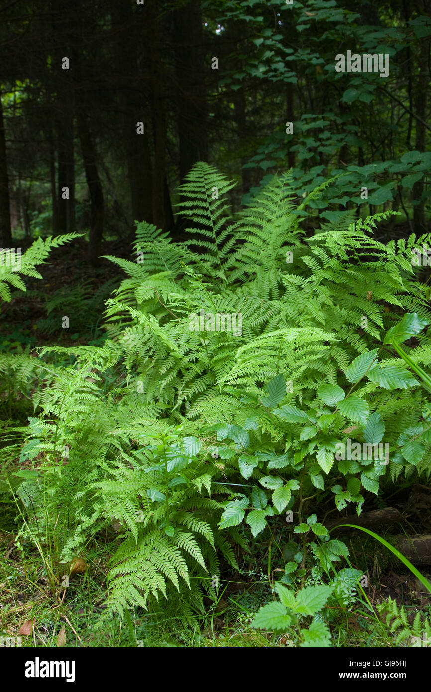 Large fern bunch in summertime shady deciduous stand,Bialowieza Forest,Poland,Europe - Stock Image