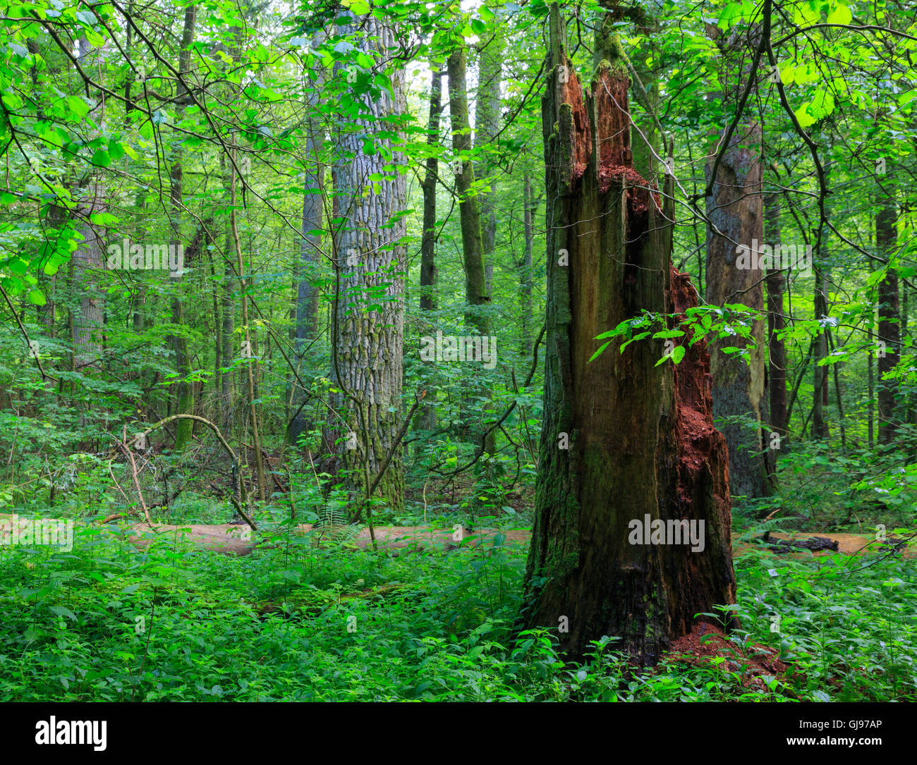 Barkless dead spruces in old summertime deciduous stand,Bialowieza Forest,Poland,Europe - Stock Image