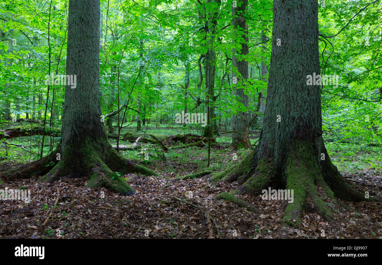 Two old spruces inside deciduous stand of Bialowieza Forest,Poland,Europe - Stock Image
