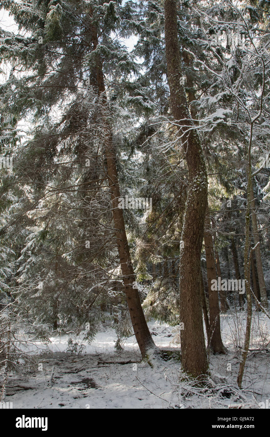 Coniferous stand of spruces snow wrapped in morning,Bialowieza Forest,Poland,Europe - Stock Image