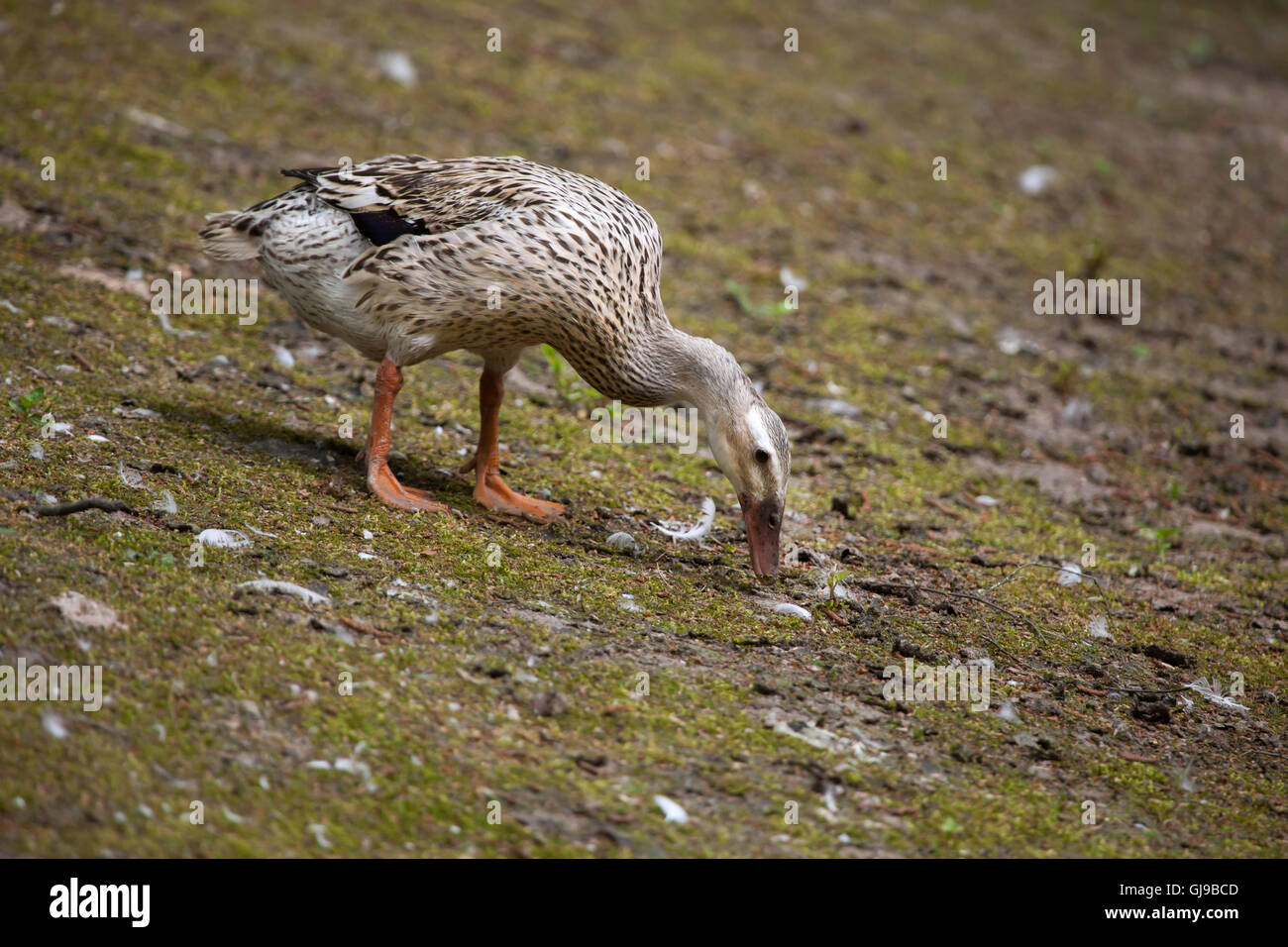 Domestic duck (Anas platyrhynchos domesticus). - Stock Image