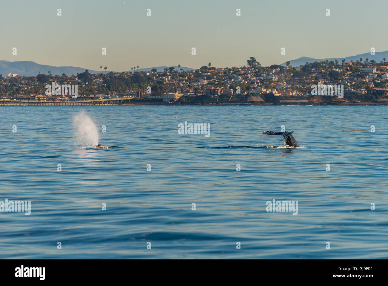 Humpback Whale - Stock Image