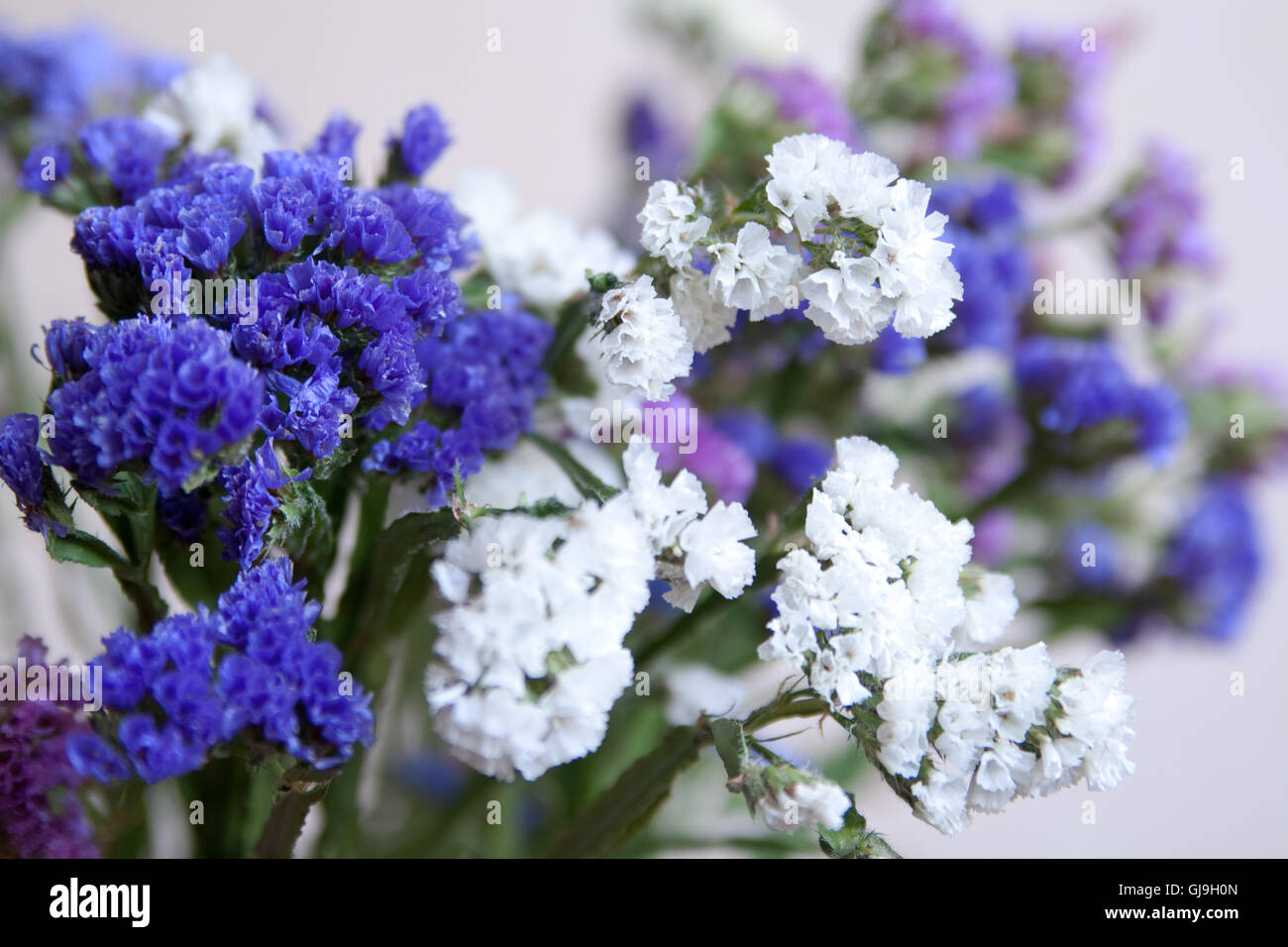Blue everlasting flower choice image flower wallpaper hd blue everlasting flower images flower wallpaper hd blue everlasting flower gallery flower wallpaper hd bouquet everlasting izmirmasajfo