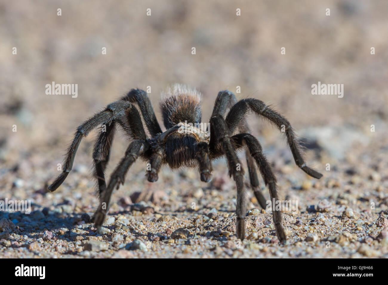 Tarantula, Ruby Road, Santa Cruz co., Arizona. - Stock Image