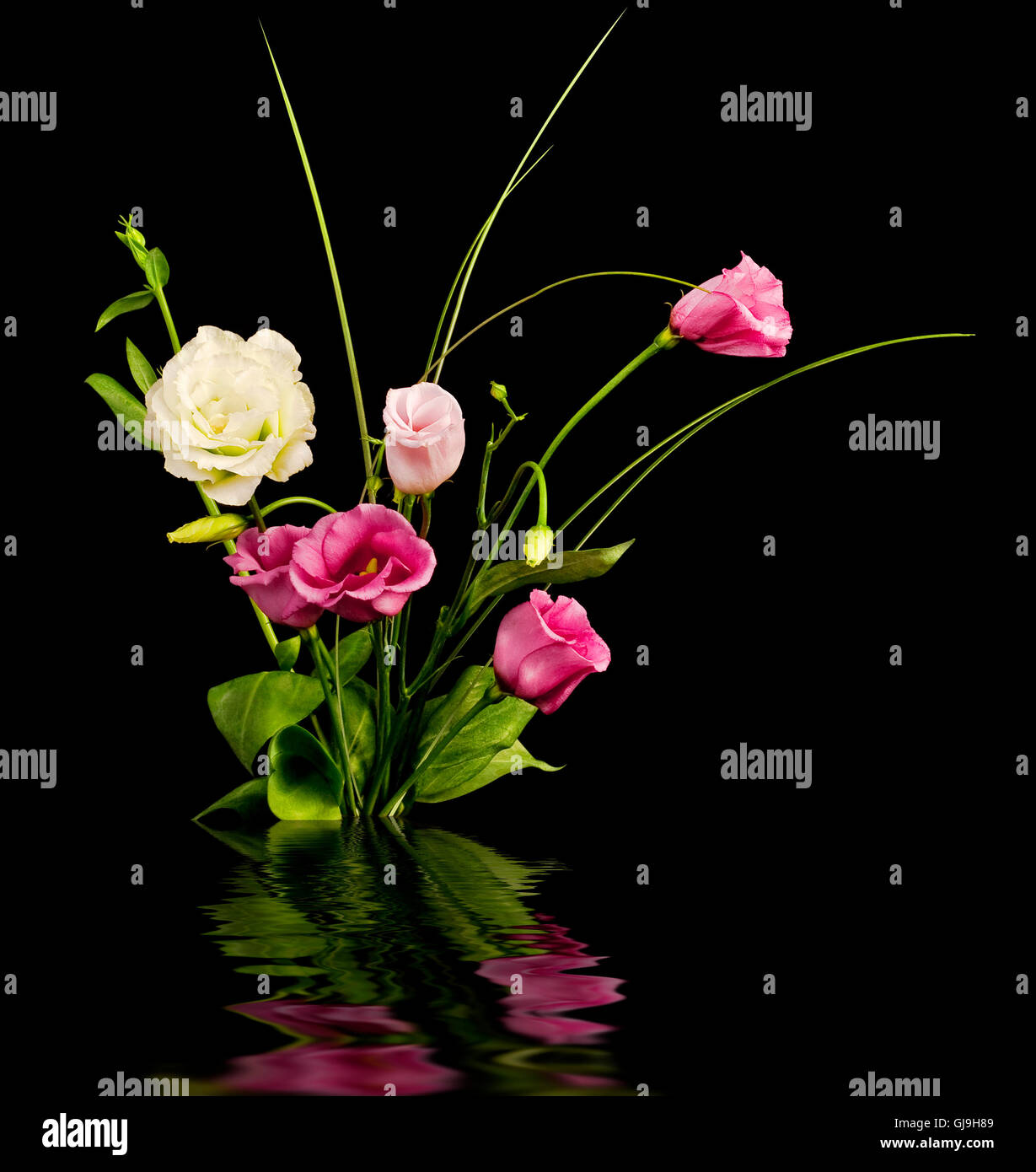 Pink and white eustoma flowers - Stock Image