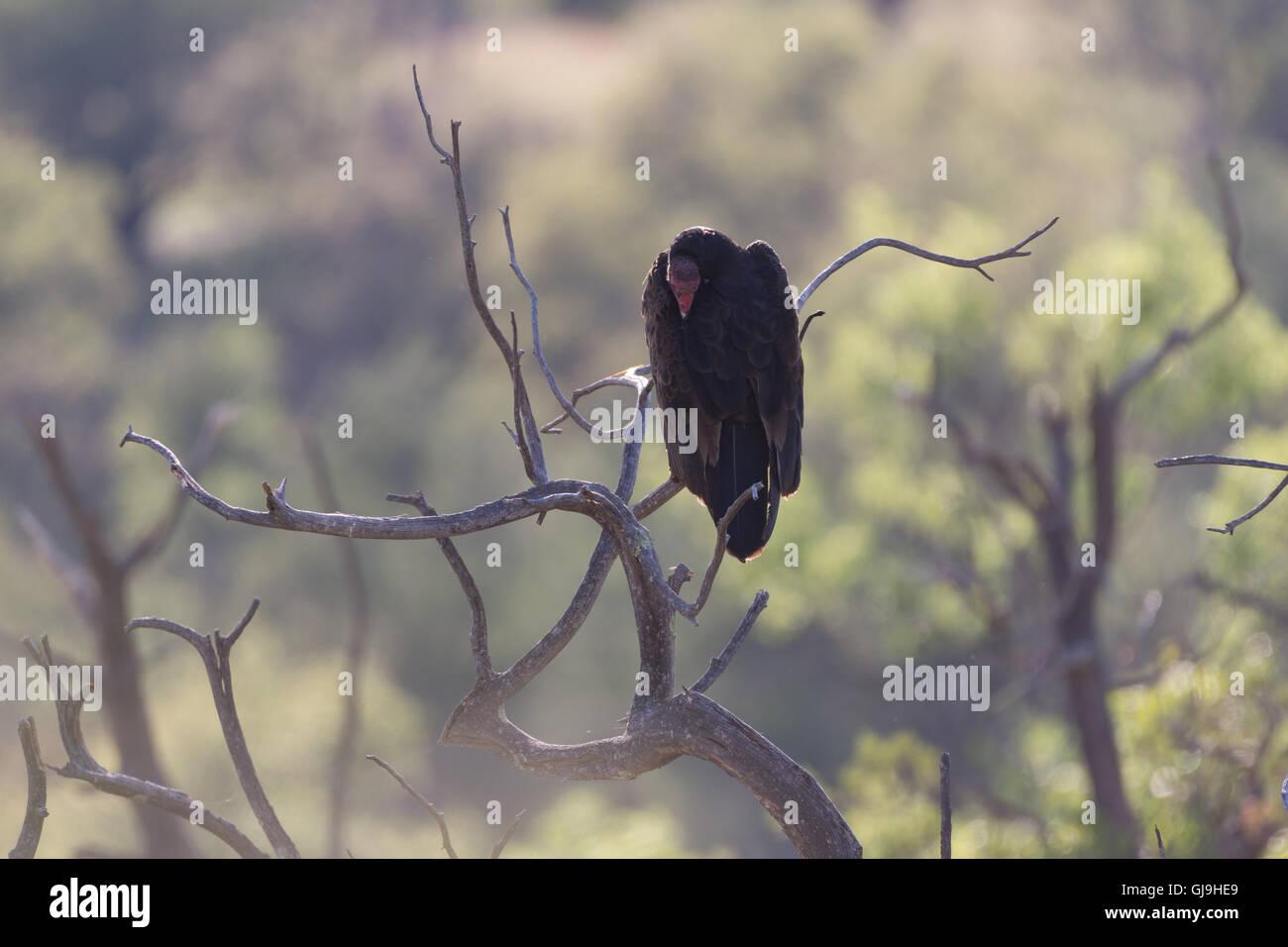 Turkey Vulture, (Cathartes aura), Huachuca mountains, Arizona, USA. - Stock Image
