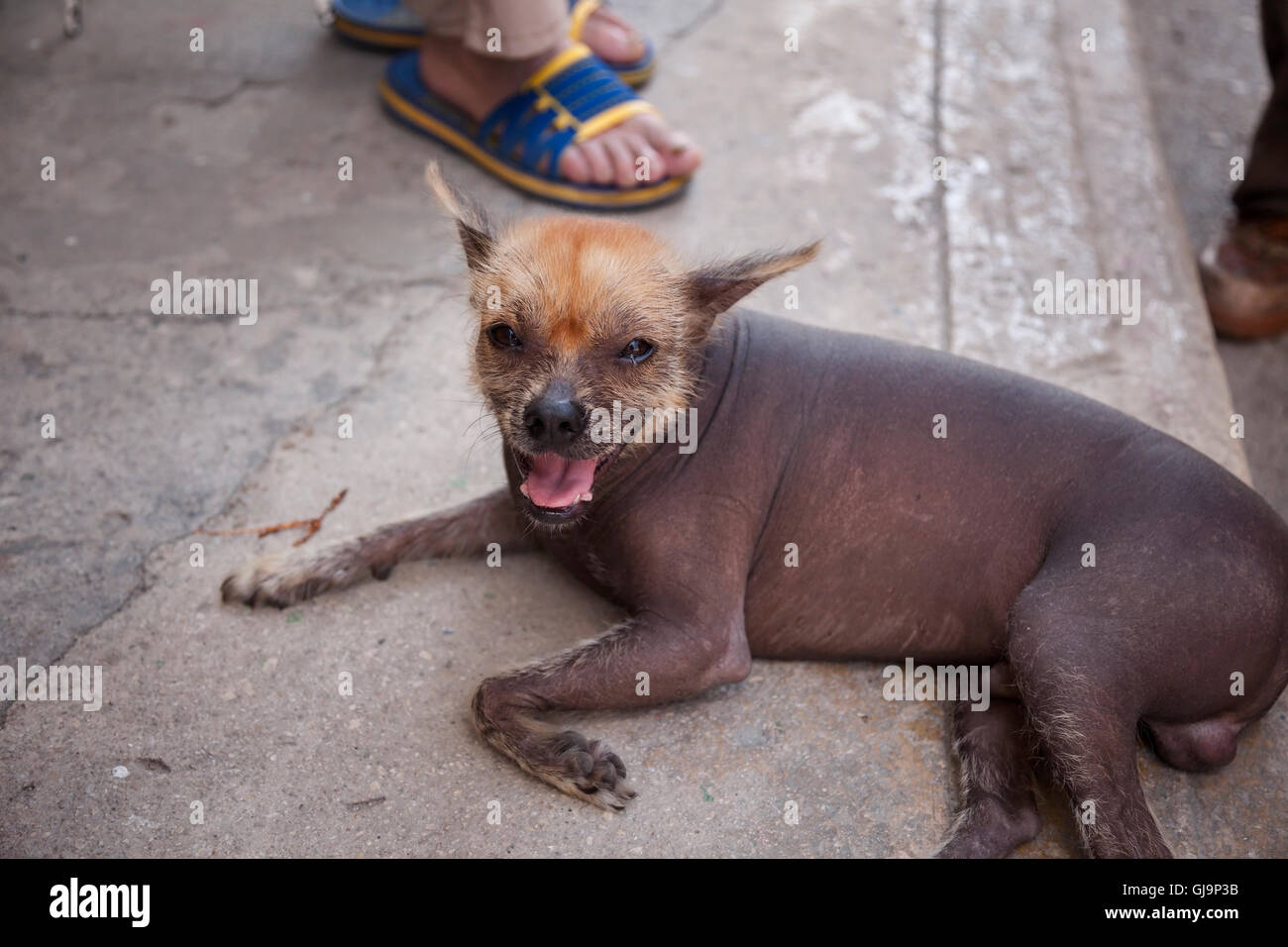 A hairless dog laying down with his mouth open in the municipality of Regla, Havana, Cuba. - Stock Image