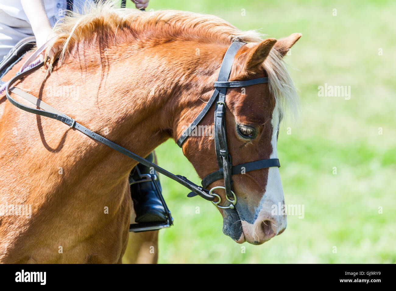 Young chestnut horse and rider at an English Country Show in Northumberland in the summer time - Stock Image