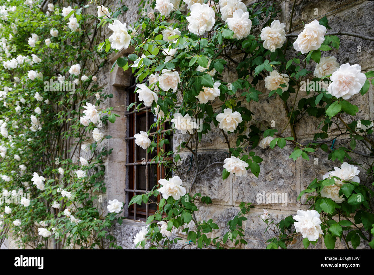 White rambling rose around window - Stock Image