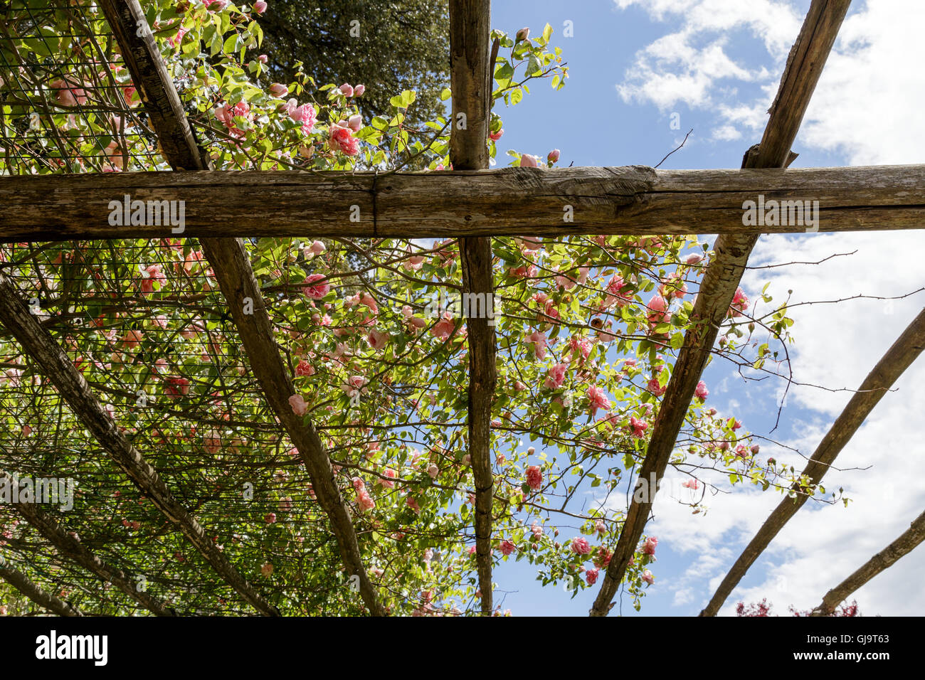 Pink rambling rose climbing over pergola at country house - Stock Image