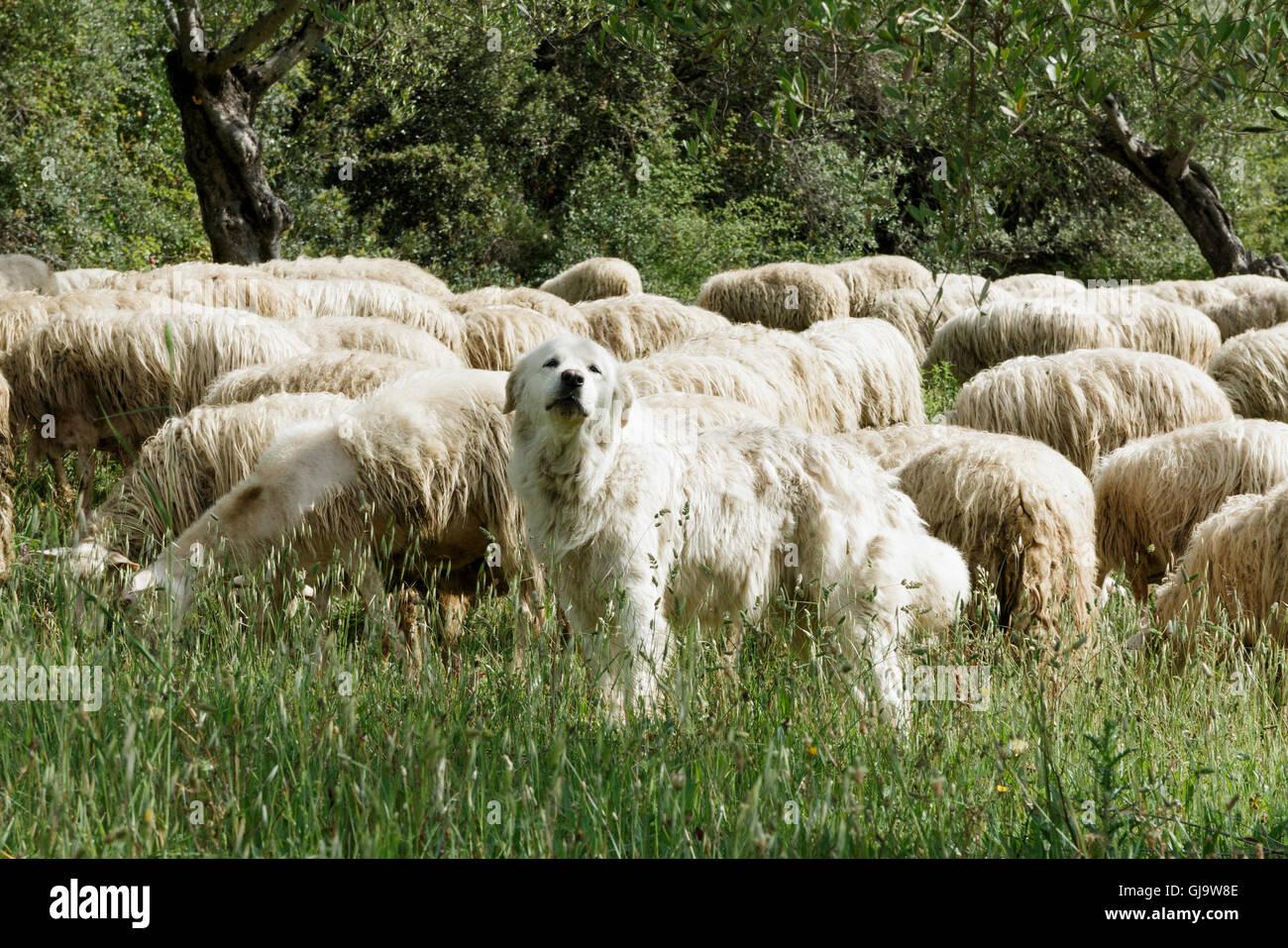 The Maremma Sheepdog In Italian Cane Da Pastore Maremmano Abruzzese