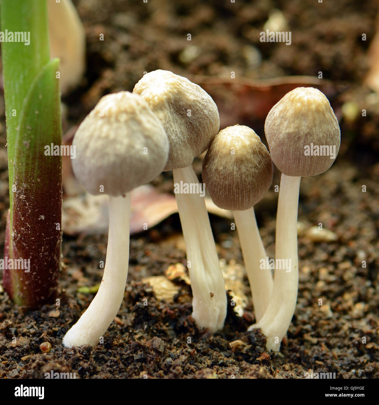Little mushroon found on moist land in rainny season. - Stock Image