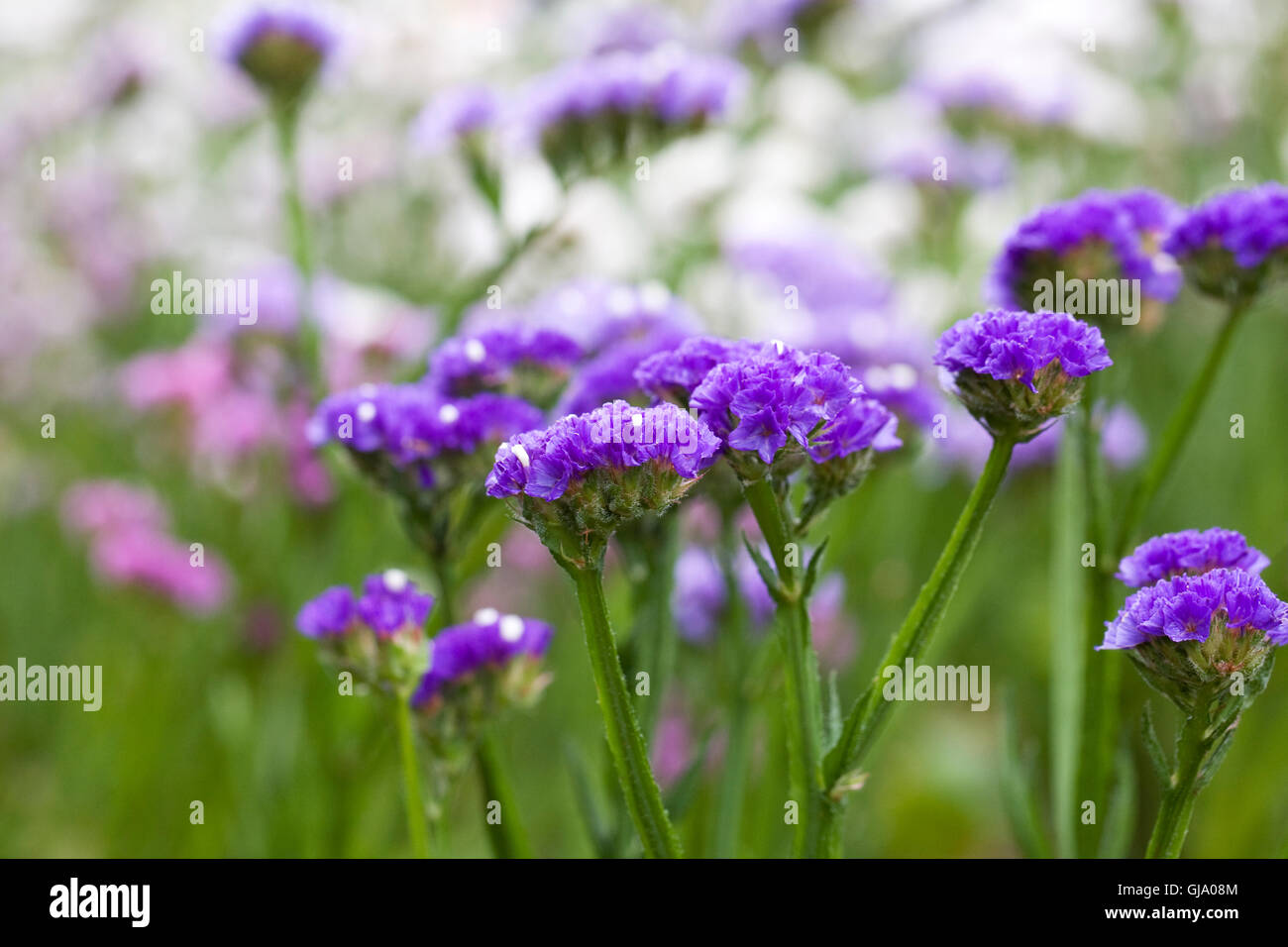 Limonium sinuatum 'Forever' flowers. Statice growing in a summer border. - Stock Image