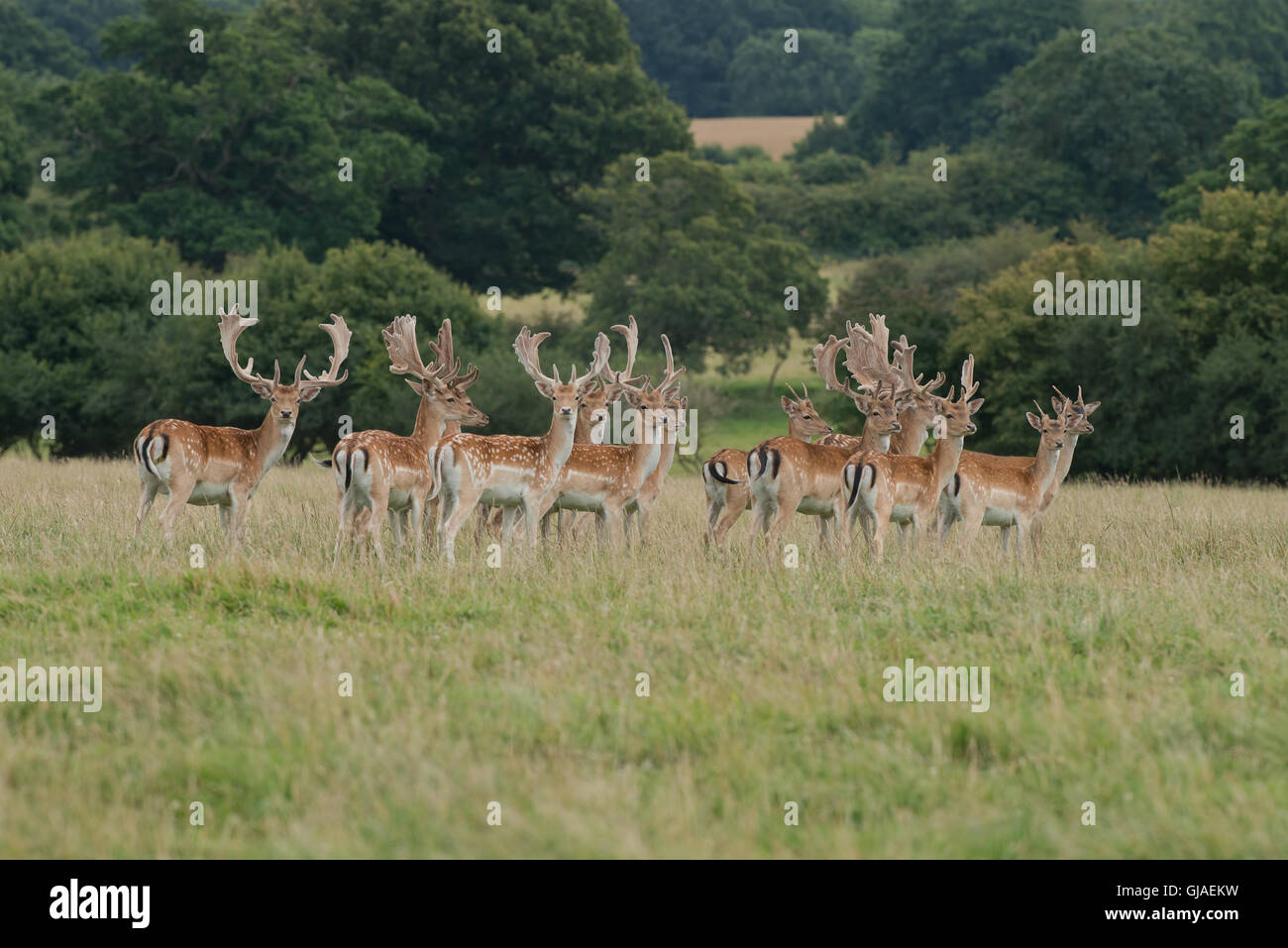 A herd of Fallow Deer  - Dama dama with antlers covered in velvet. Uk - Stock Image