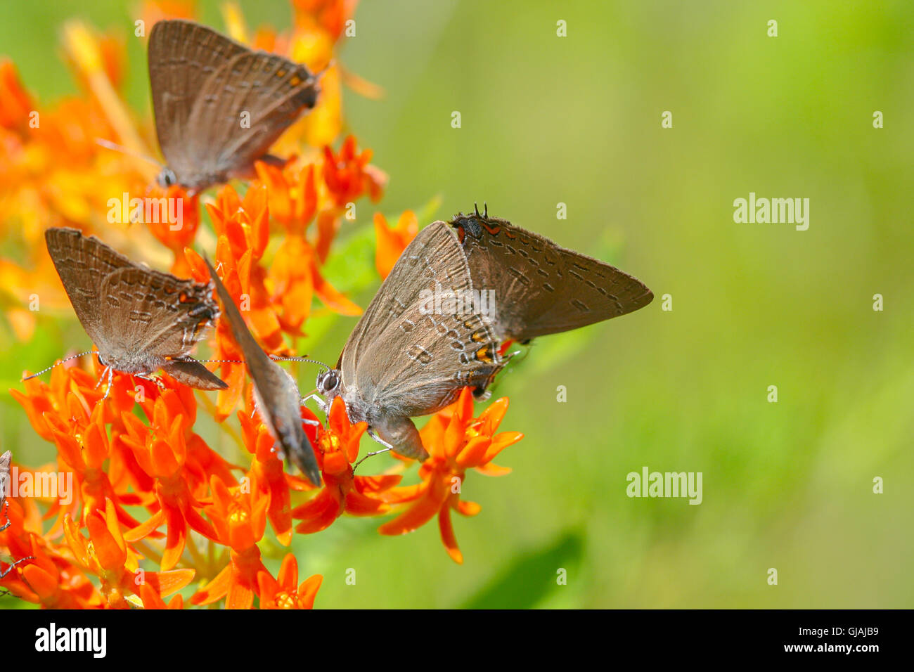 A group of Edward's and Banded Hairstreaks (Satyrium edwardsii and S. calanus) nectaring on butterfly weed (Asclepias - Stock Image