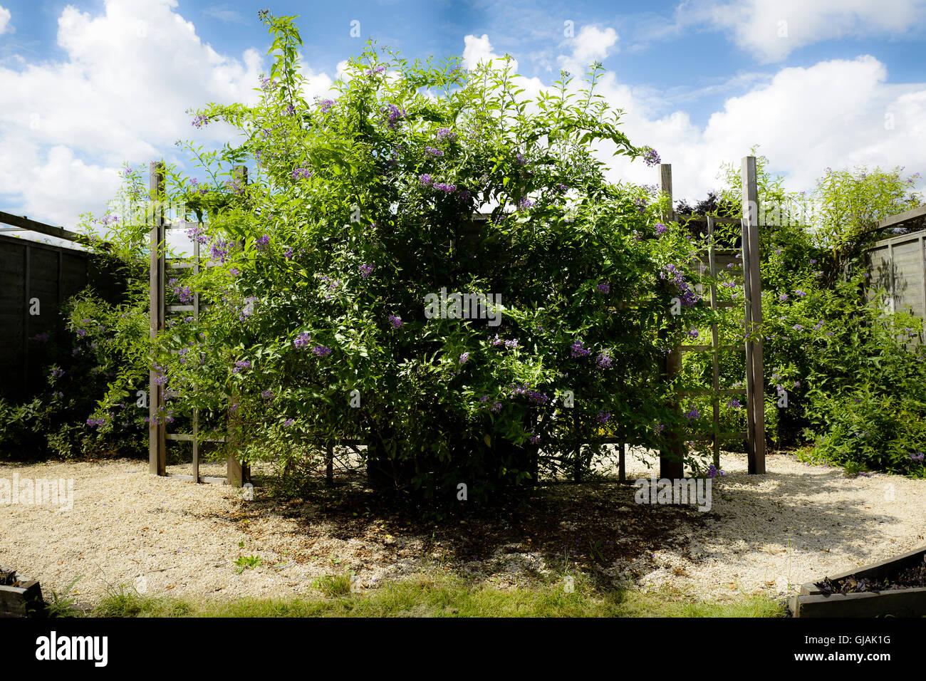 Solanum crispum growing in a community garden in Wiltshire UK - Stock Image
