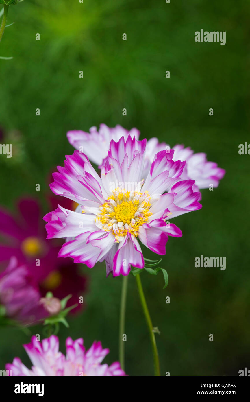 Cosmos bipinnatus Double Click Bicolour Rose flowers Stock Photo
